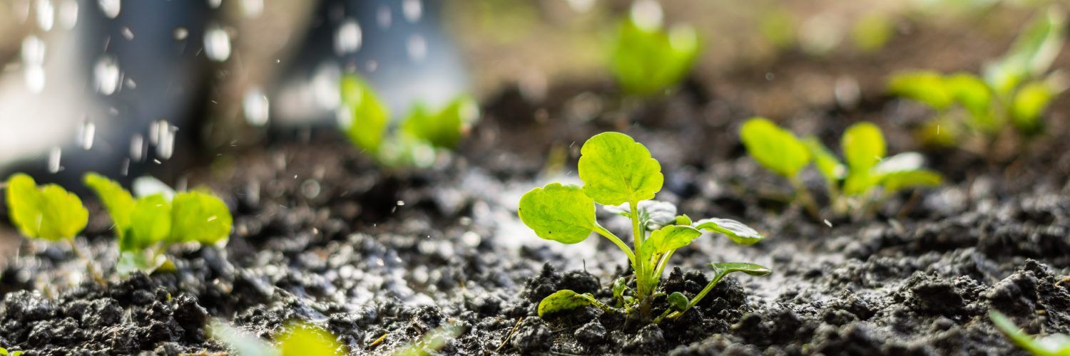 Plant sprouts in the field and farmer  is watering it;  pansy seedlings in the farmer's garden , agriculture, plant and life concept (soft focus, narrow depth of field); Shutterstock ID 520005652; Purchase Order: -